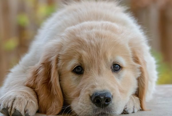Golden Retriever Torture - What This University Is Doing To Puppies and How You Can Stop It
