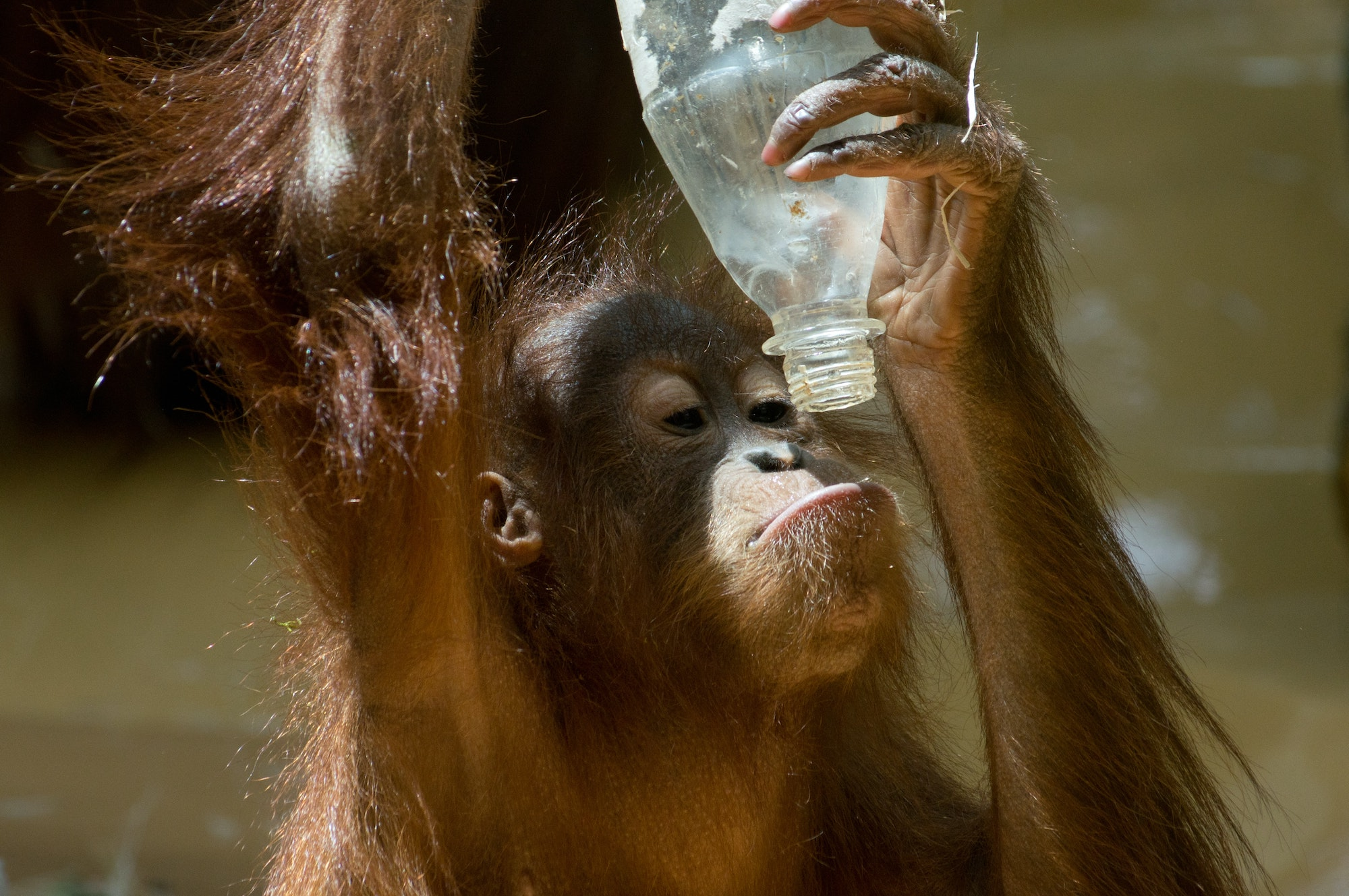 Palm Oil and the Orangutan: What You Need to Know